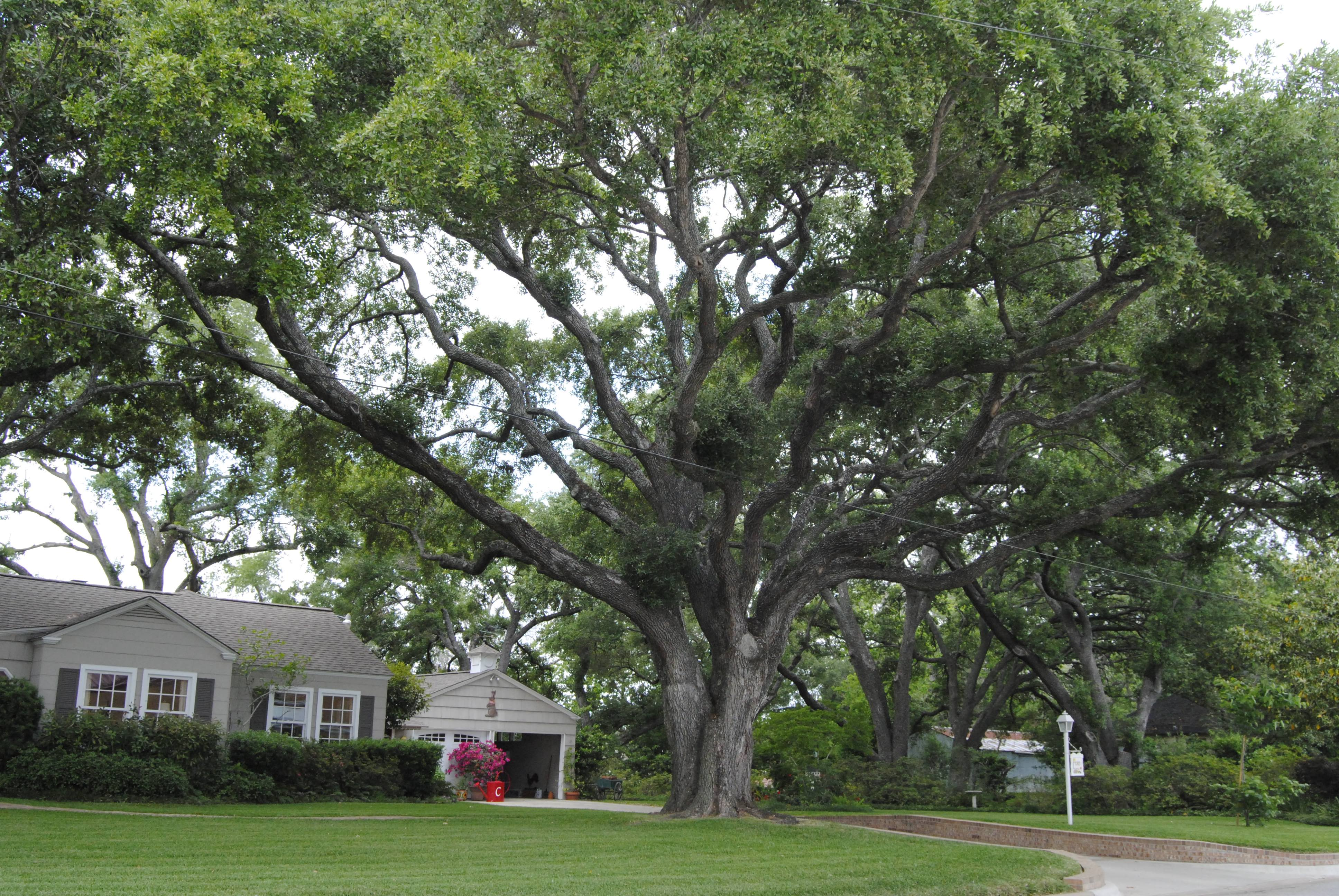 10.	Stand of Live Oaks