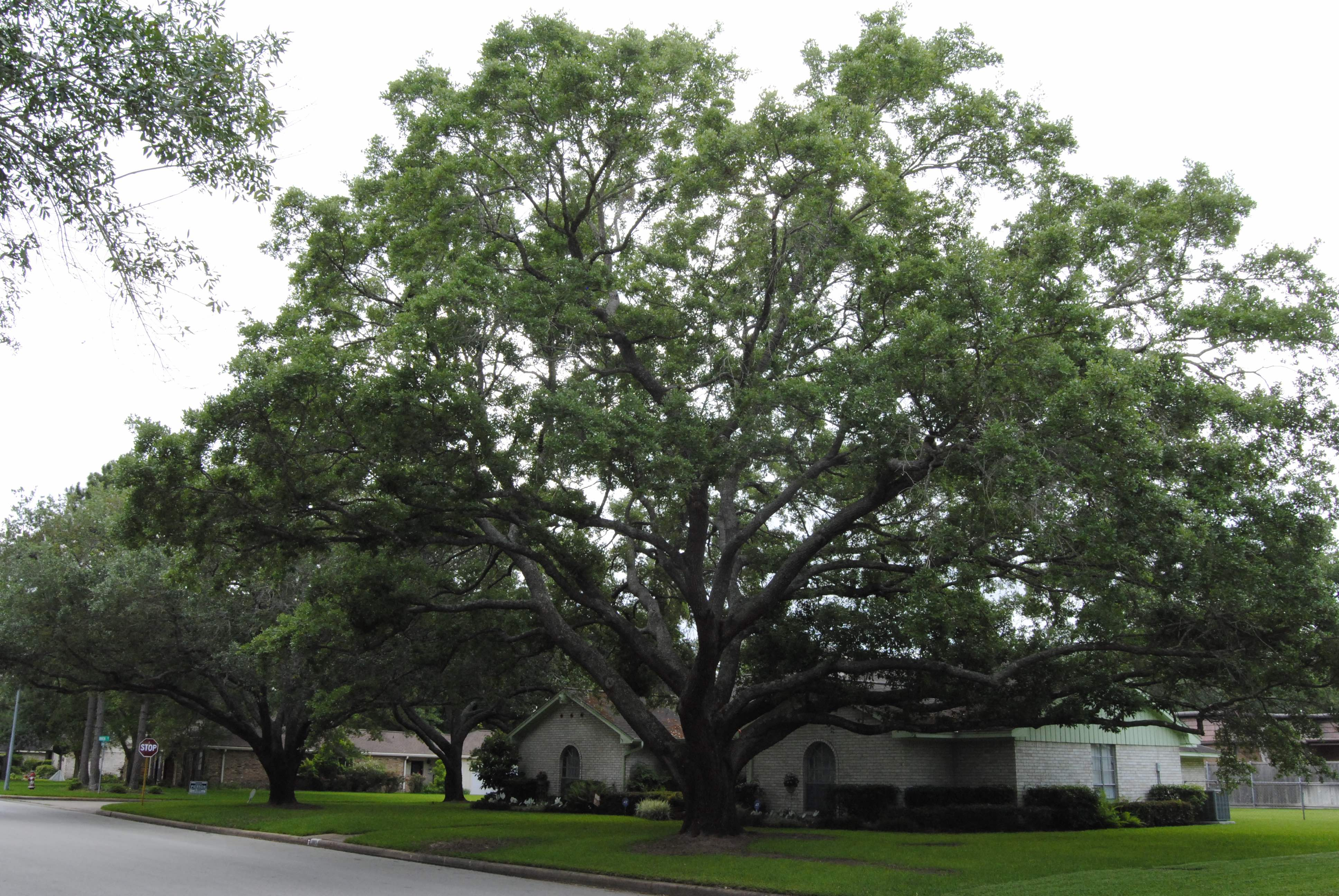 18.	Stand of Heritage Live Oaks