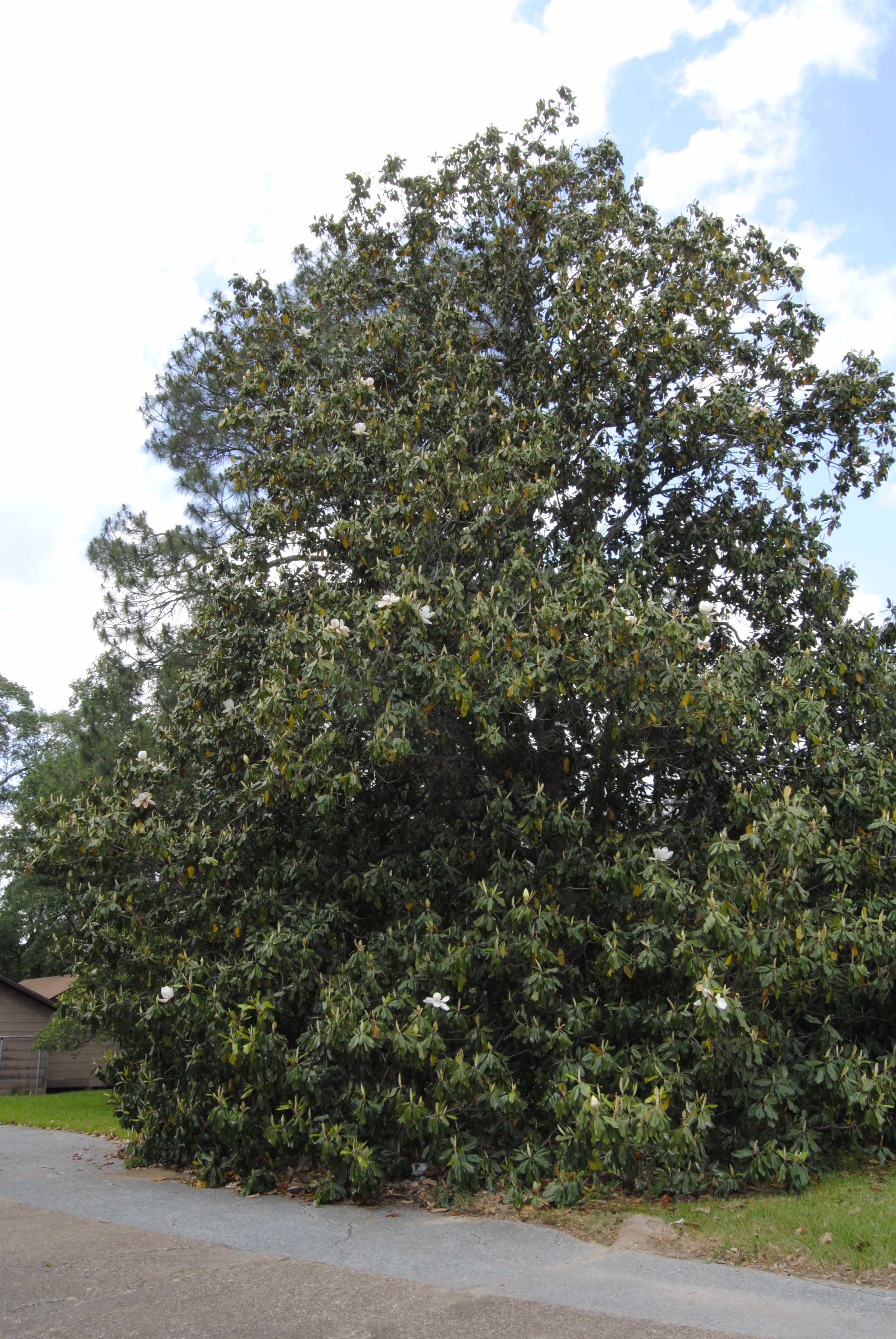 3.	Southern Magnolia