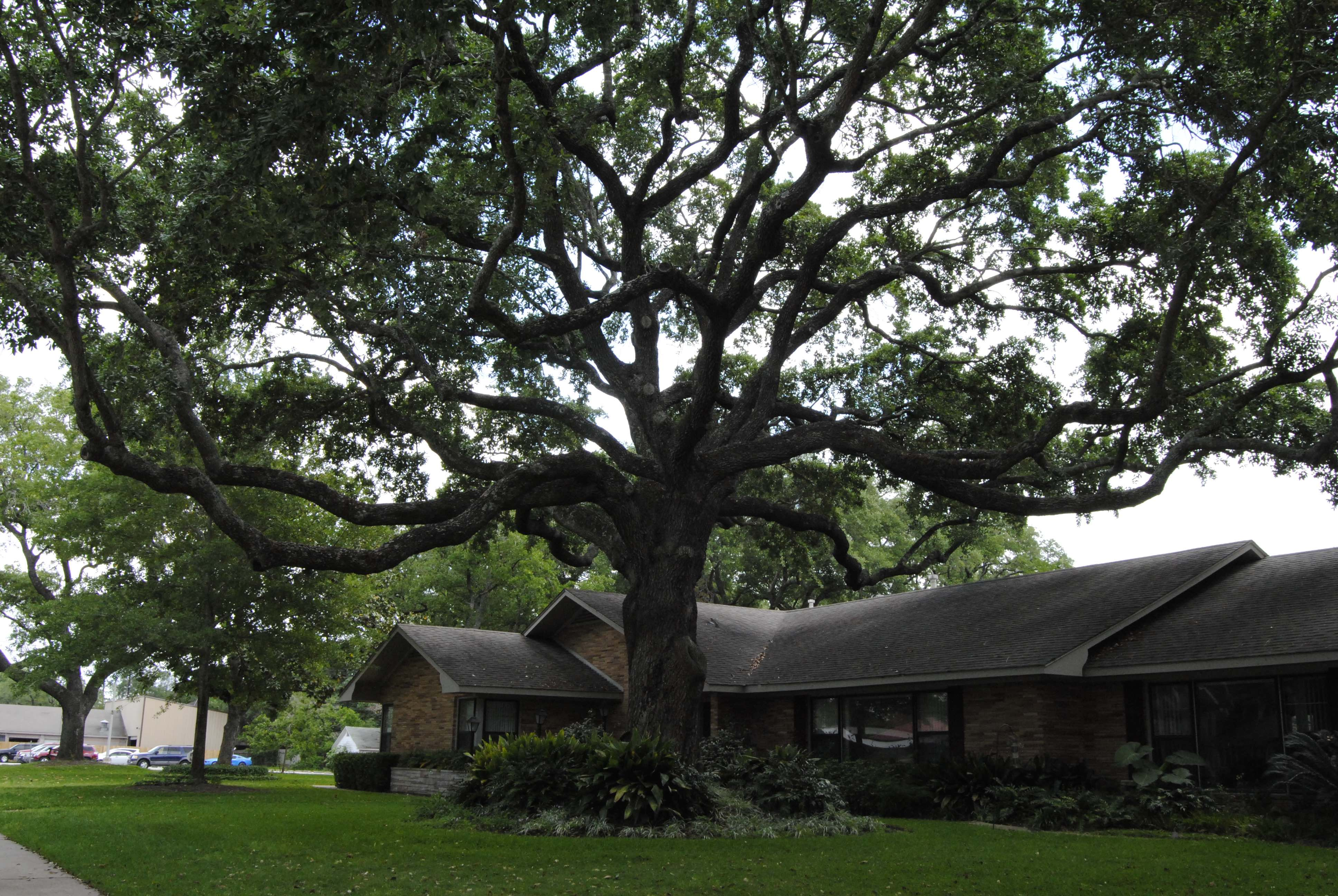 9.	Stand of Live Oaks